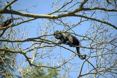 Brown wyjec lub brown wyć małpa zdjęcie stock