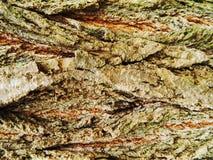 Brown y árbol de arce gris de la corteza, mucho musgo Fotografía de archivo libre de regalías