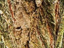 Brown y árbol de arce gris de la corteza, mucho musgo Fotos de archivo libres de regalías