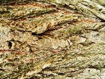 Brown y árbol de arce gris de la corteza, mucho musgo Fotografía de archivo