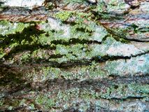 Brown y árbol de arce gris de la corteza, mucho musgo Fotos de archivo