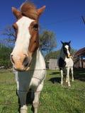 Brown y caballo blanco Imagen de archivo libre de regalías