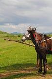 Brown y caballo blanco en el centro del arnés del campo en Cárpatos, Ucrania Fotos de archivo libres de regalías