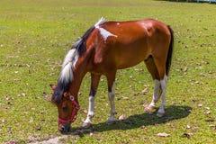 Brown y caballo blanco que almuerzan en la granja Imagenes de archivo