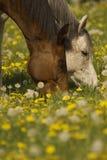 Brown y caballo blanco que pastan Foto de archivo