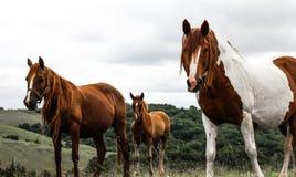 Brown y caballos blancos en un campo fotos de archivo libres de regalías