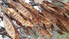 Brown y el oro secaron las vainas del acacia en el árbol en temporada de otoño fotografía de archivo libre de regalías