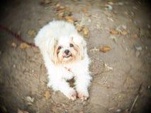 Brown y el perro blanco ataron la cabeza del tapón del fango imágenes de archivo libres de regalías