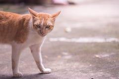 Brown y gato blanco con medio cierre del cuerpo de los ojos enojados para arriba fotografía de archivo libre de regalías