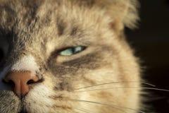 Brown y gato nacional blanco con los ojos semi cerrados imágenes de archivo libres de regalías