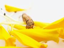 Brown y gusano u oruga negro que comen los pétalos de la flor amarilla de la maravilla en fondo Imágenes de archivo libres de regalías