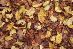 Brown y hojas de otoño amarillas Fotos de archivo