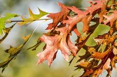Brown y hojas verdes del roble fotografía de archivo libre de regalías