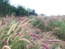 Brown y la hierba púrpura de la misión en desierto colocan crecido demasiado por naturaleza Fotografía de archivo