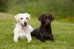 Brown y labrador retriever blanco fotografía de archivo