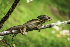 Brown y lagarto amarillo del basilisco Foto de archivo
