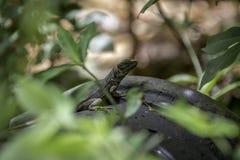 Brown y lagarto verde en una roca Imágenes de archivo libres de regalías