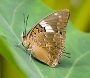 Brown y mariposa modelada anaranjada fotografía de archivo