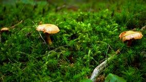 Brown y mushrrom amarillo en musgo verde en bosque almacen de video