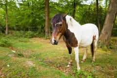 Brown y nuevo caballo blanco del potro del bosque foto de archivo