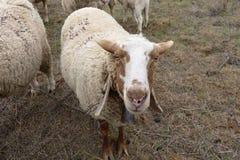 Brown y ovejas blancas Fotografía de archivo libre de regalías