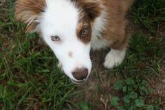 Brown y perro blanco que miran para arriba Imagenes de archivo