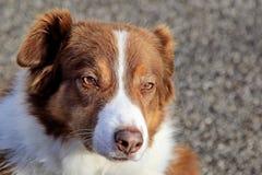 Brown y perro pastor blanco del border collie Imagenes de archivo