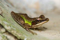 Brown y rana verde Fotografía de archivo