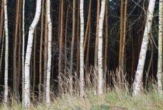 Brown y troncos de árbol blancos en el bosque Imagen de archivo