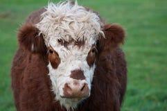 Brown y vaca blanca Foto de archivo