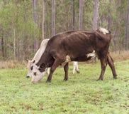 Brown y vaca blanca de Hereford Imágenes de archivo libres de regalías