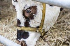Brown y vaca blanca, raza Normande, Francia imagenes de archivo