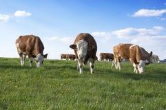 Brown y vacas blancas en pasto fotos de archivo libres de regalías