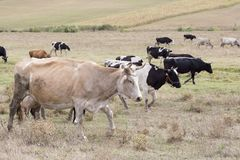 Brown y vacas negras que pastan Imágenes de archivo libres de regalías