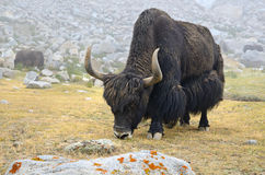 Brown yak Royalty Free Stock Photo