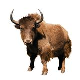 Brown yak - Bos mutus Stock Image