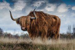 Brown Yak on Green and Brown Grass Field Royalty Free Stock Photography