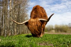 Brown Yak on Green Grass Royalty Free Stock Image