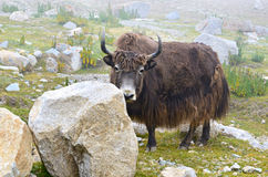 Brown yak Royalty Free Stock Photography