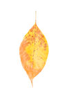 Brown and yellow autumn leaf Royalty Free Stock Photo