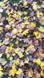 Brown and Yellow Autumn Leaves. A closeup of yellow and brown leaves on grass royalty free stock image