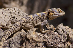 Brown, yellow and blue lizard on volcanic rocks Stock Images