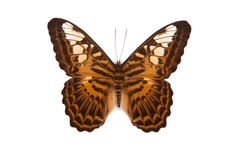 Brown and yellow butterfly Parthenos silvia Royalty Free Stock Images