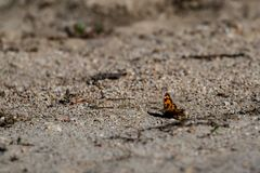 Brown yellow butterfly sitting on sandy ground. Beautiful small brown and yellow butterfly sitting on sandy ground shore close to the water reservoir of Dospat stock photos