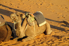 Brown and yellow camels in sand desert Royalty Free Stock Photography