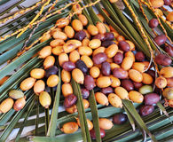 Brown and Yellow Dates On Palm Leaves. Stock Photography