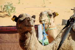 Brown and yellow domestic camels Stock Images