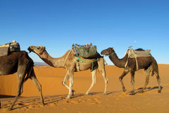 Brown and yellow domestic camels Royalty Free Stock Image