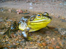Brown and Yellow Frog on Brown Rocks Stock Photos