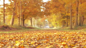 Brown, yellow and golden leafs on a Beech tree stock video